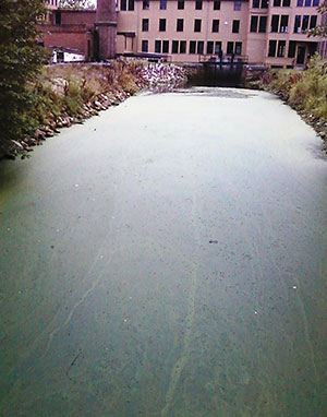 Algal bloom in the Blackstone Canal resulting from excess nutrients.